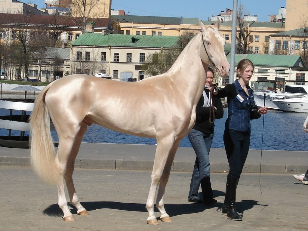 Akhal-Teke golden horse