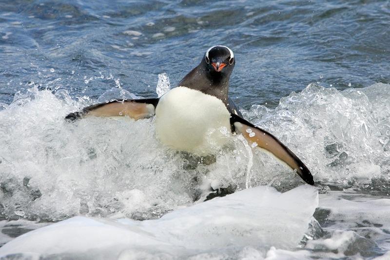 Surfende Pinguine