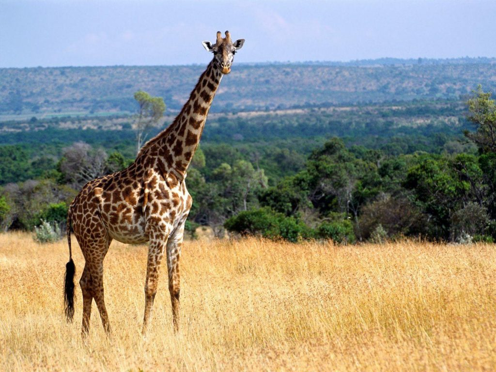 30 amazing and cute pictures of giraffes