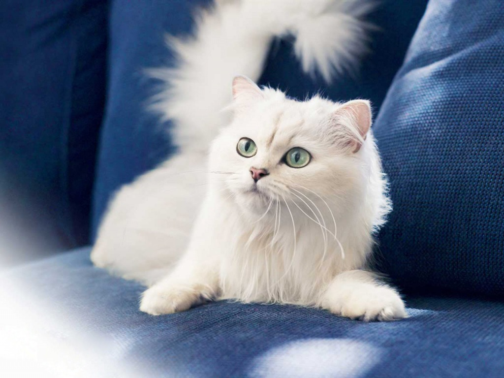 Persian-Cat-Wallpapers