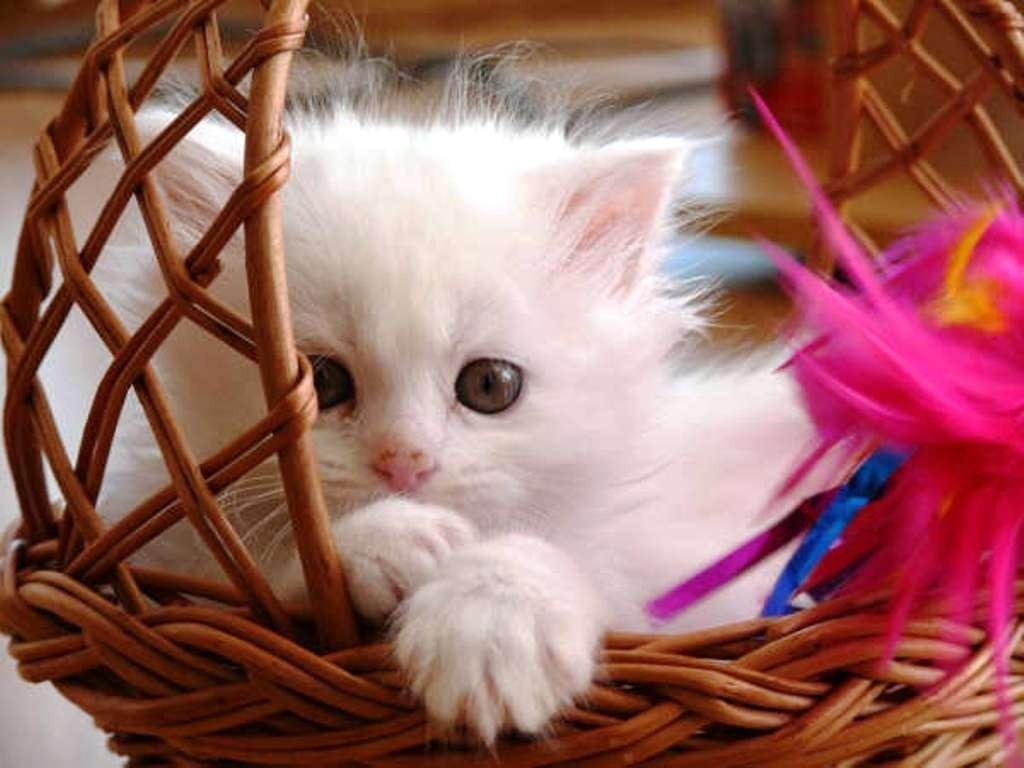 50 HD Cute Cat Wallpapers for Your Desktop