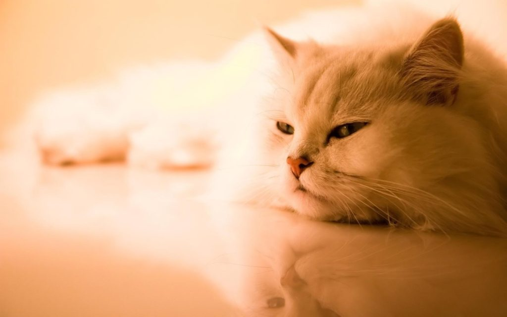 cute-persian-kittens-wallpaper