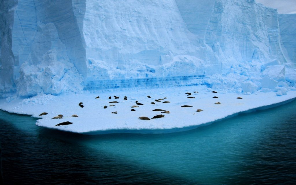 Seals Relaxing on Ice