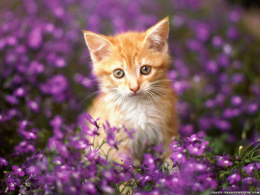 orange-tabby-cat-wallpaper