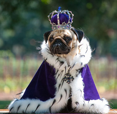 Pug Dressed as Seal Seal Pug-in-seal-costume