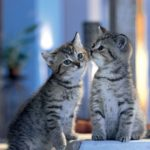 two kissing cats wallpaper
