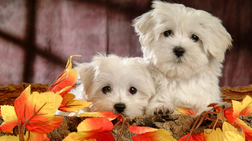 Beautiful-Dogs-Wallpaper