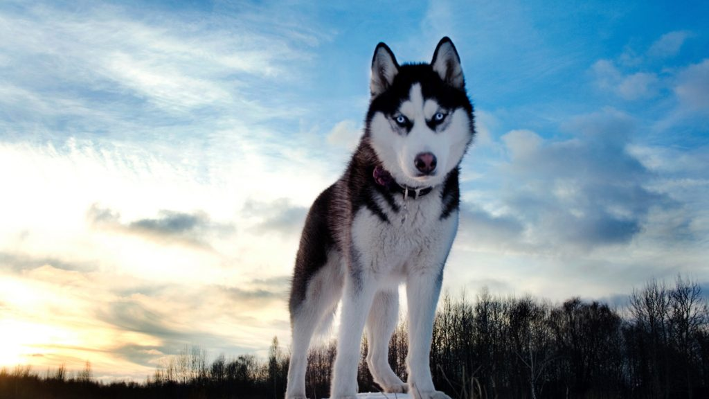 Husky-Dog-Winter-Sky