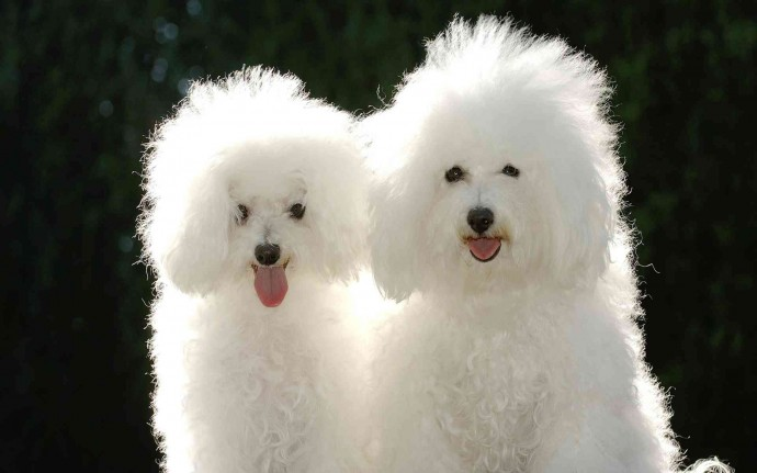 White-Cute-Dogs