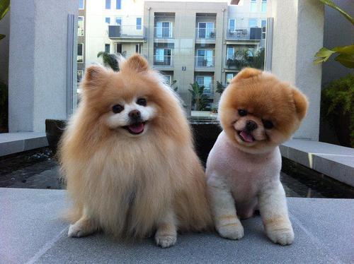 boo-cute-dog-pomeranian