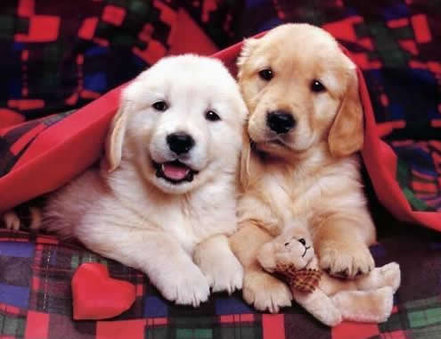 cute-dogs-under-blankit