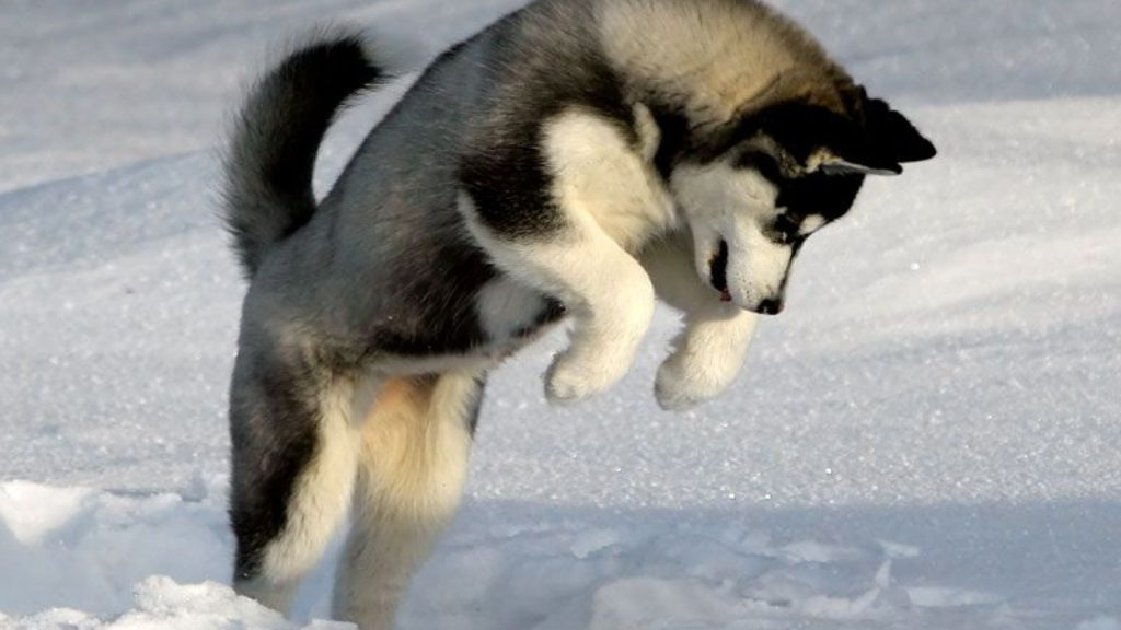 siberian-husky-puppy-wallpaper