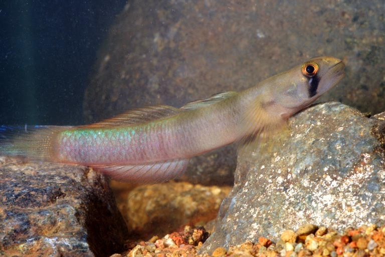 35 beautiful freshwater tropical fish pictures for Freshwater goby fish