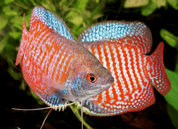 Gourami tropical fish pictures