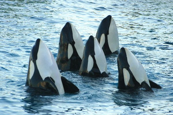 Herd of Killer Whale pictures