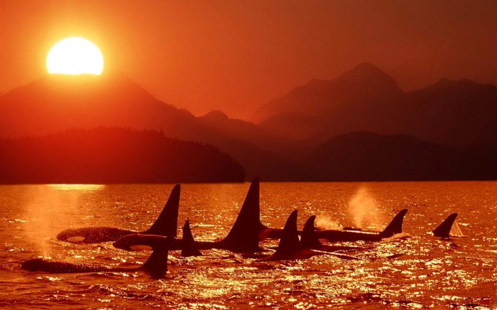 Killer Whale In Sunset Wallpaper