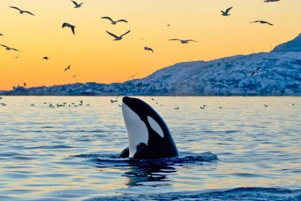 Killer Whales Sunset