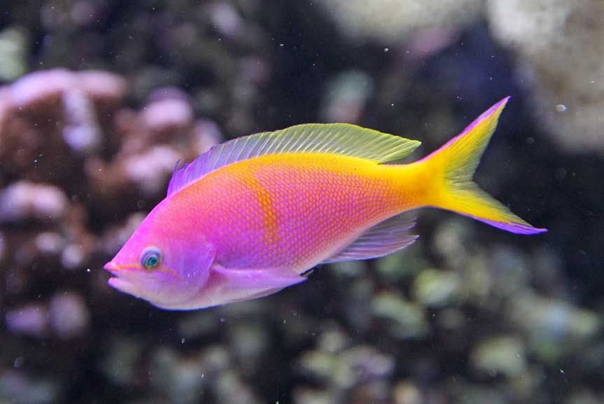 35 beautiful freshwater tropical fish pictures for Tropical rainbow fish