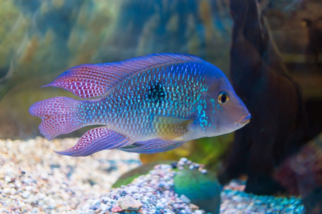 South American cichlid