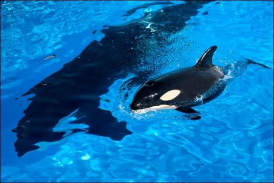 baby killer whale pictures