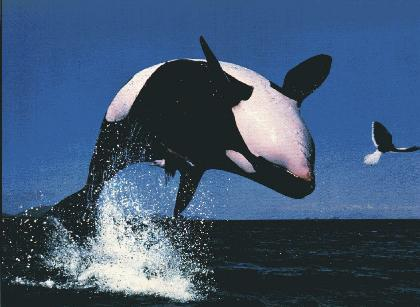 flipping Orca