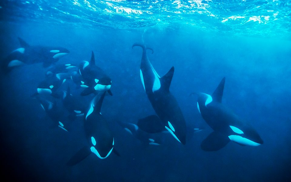 killer whale pictures herd