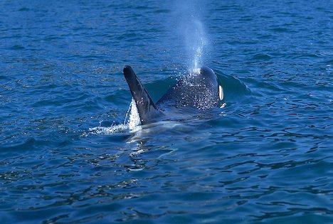 Killer Whale spout