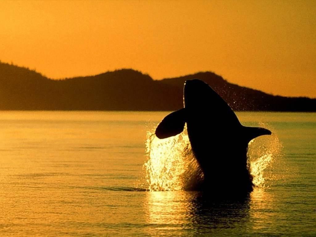 killer whale sunset