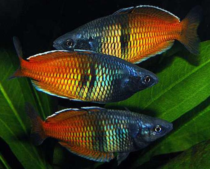 rainbowfish