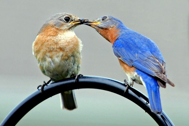 Eastern Bluebirds pictures