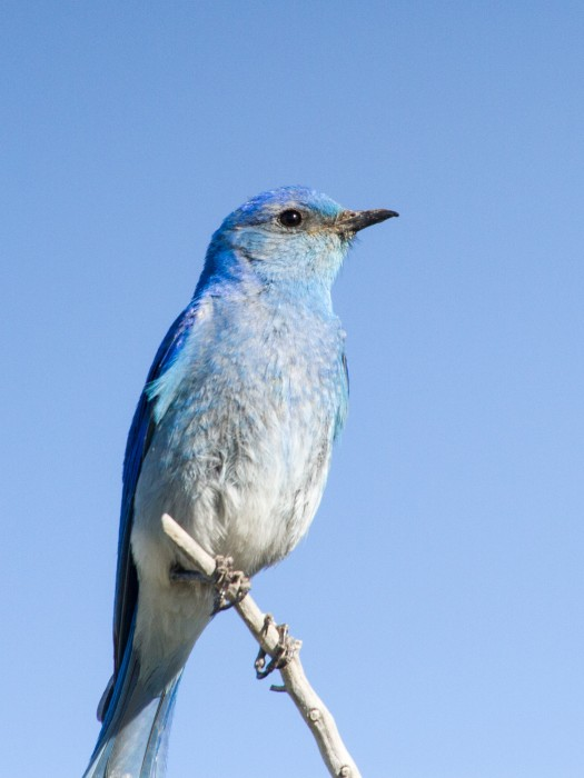 Male Mountain Bluebird