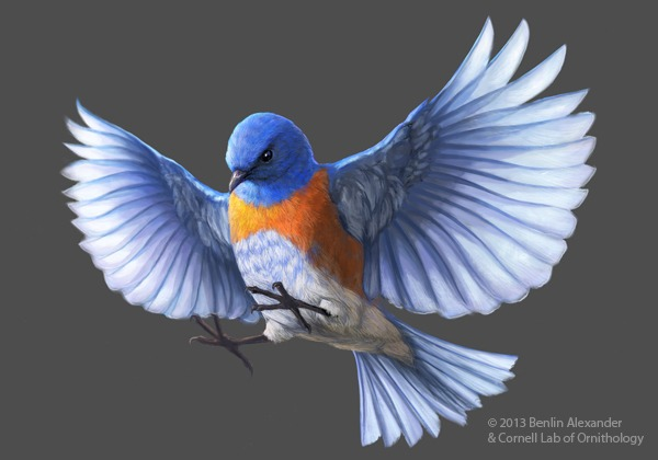 Western Bluebird picture