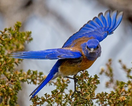 Western Bluebird pictures