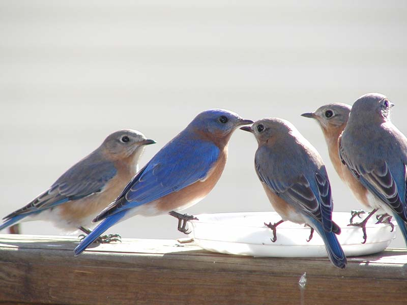 beautiful bluebird pictures