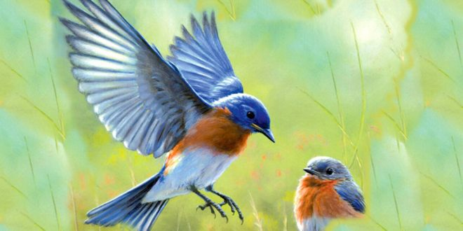 30 Beautiful Bluebird Pictures and Images