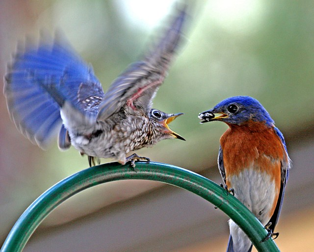eastern bluebirds image
