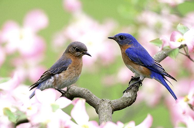 eastern_bluebirds_male-female