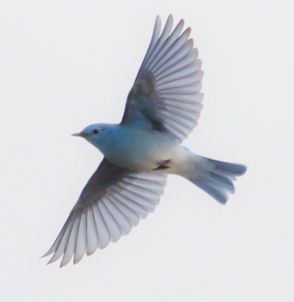 female mountain bluebird flying
