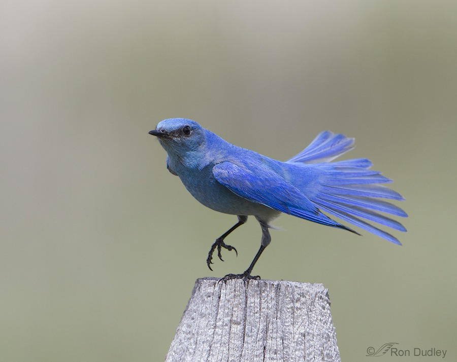mountain bluebird picture
