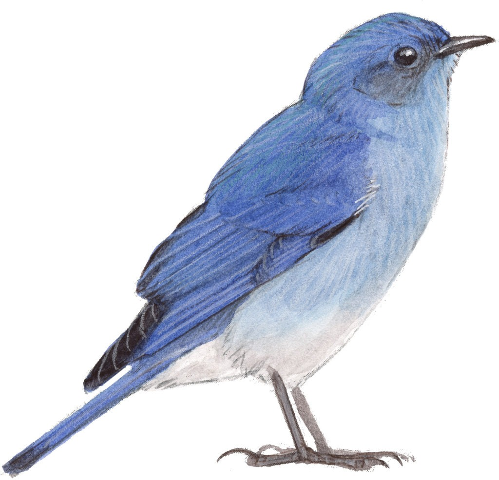 mountain bluebird pictures