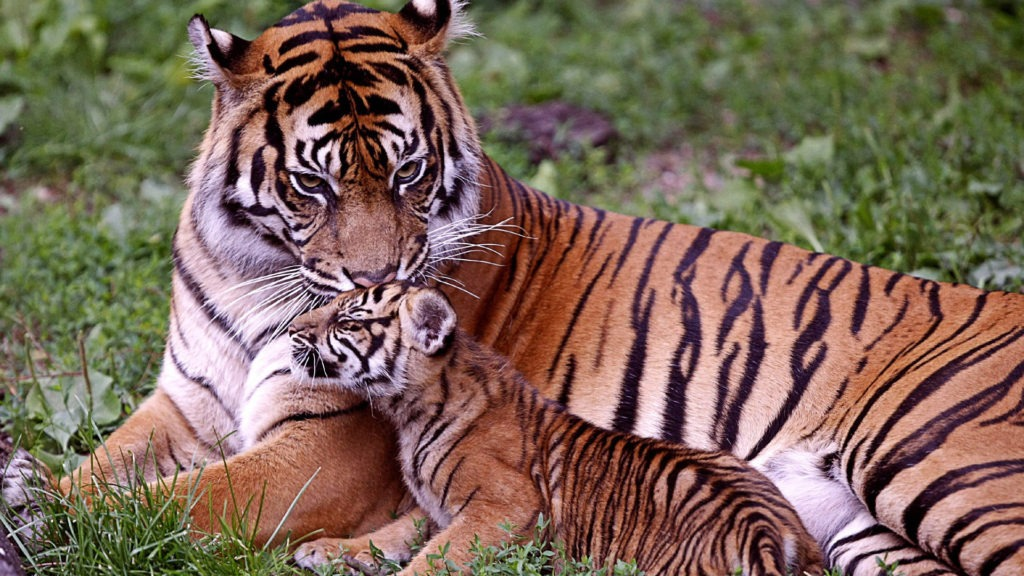 Bengal Tigers and baby