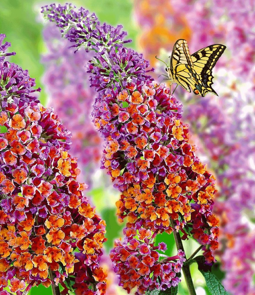 Buddleia - Picture of Flowers