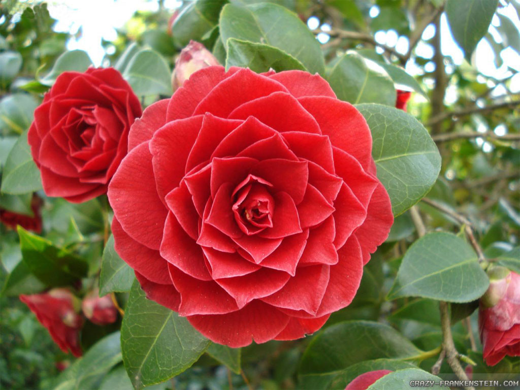 Camelia - Picture of Flowers