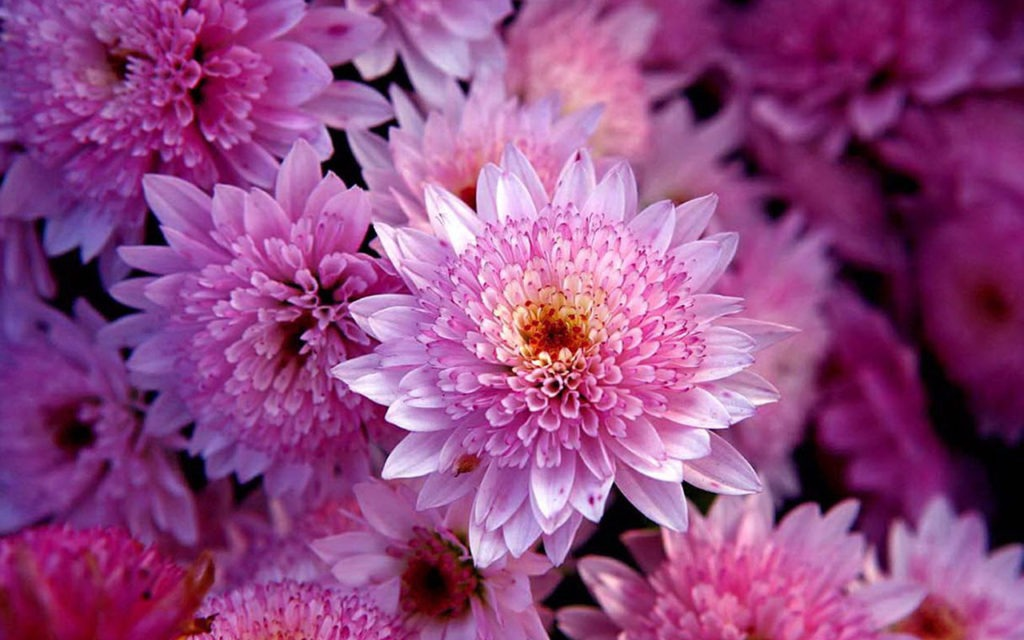 Chrysanthemum - Flowers Pictures