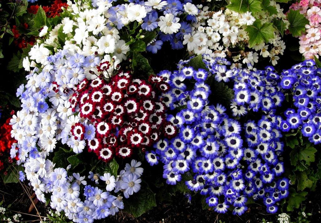 Cineraria - Flowers Pictures