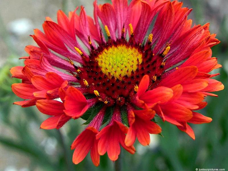 Gaillardia - Flower Pictures