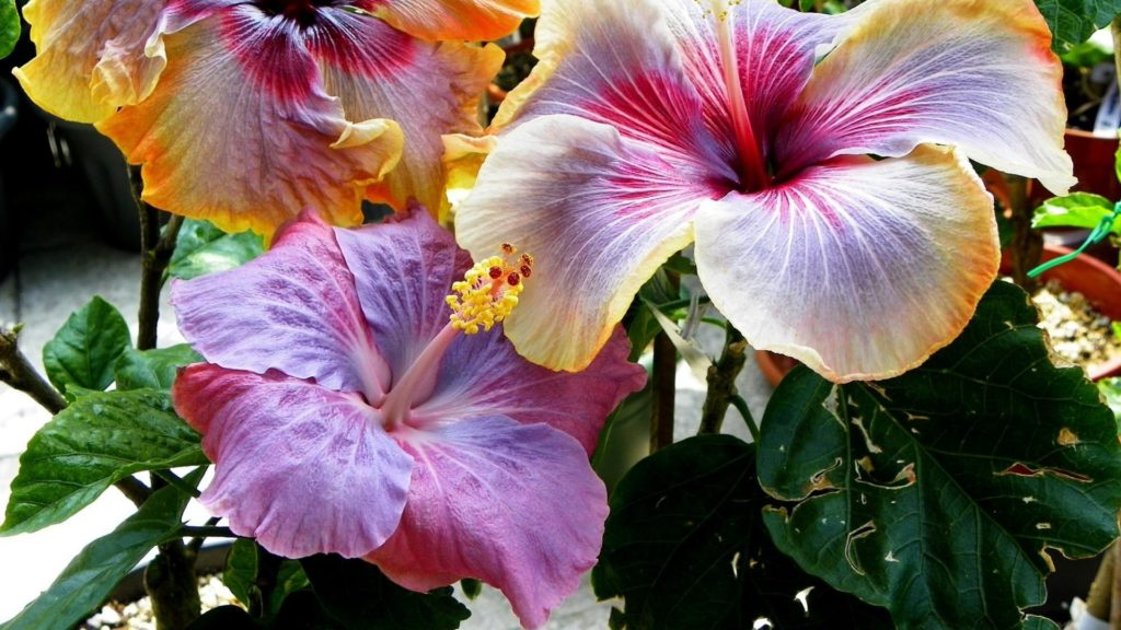 Hibiscus - Flowers Picture