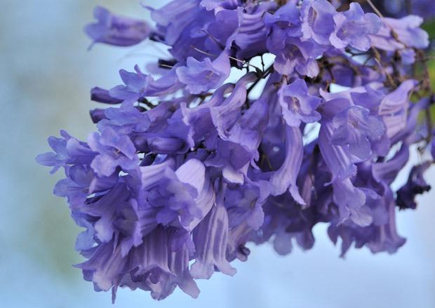 Jacaranda - Flowers Picture