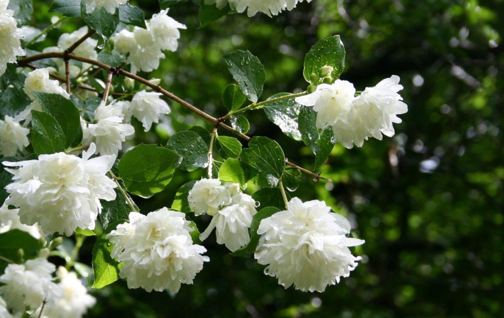 Jasmine - Flowers Picture