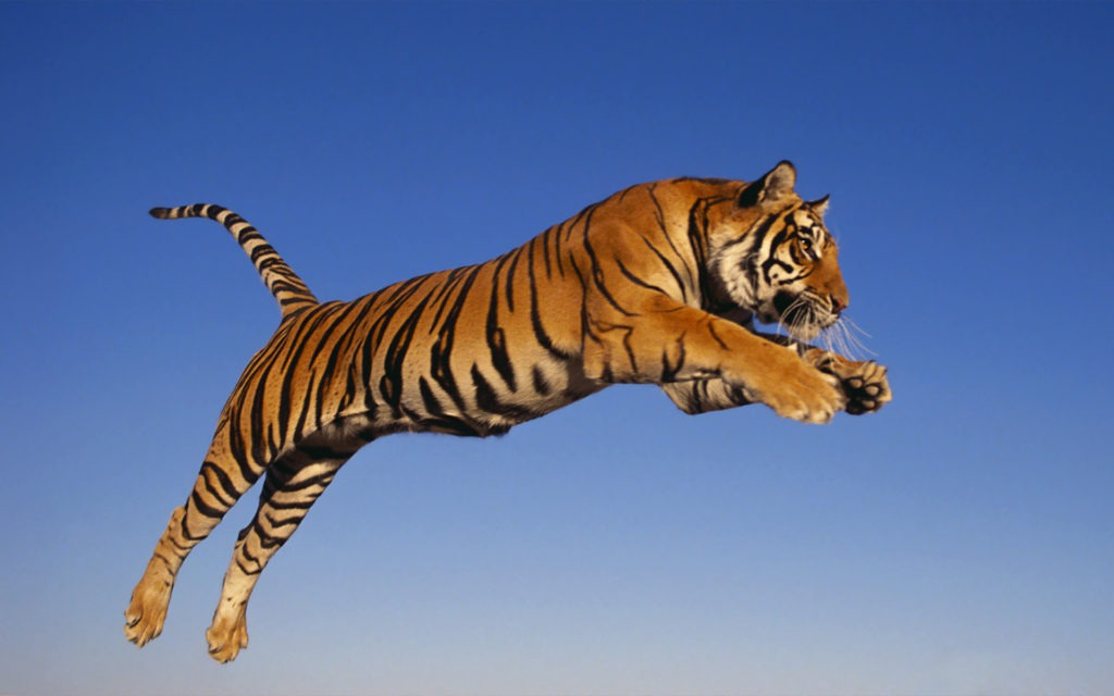 Bengal Tigers jumping